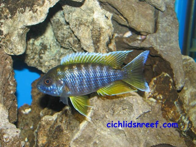 lemon jake peacock cichlid - photo #21