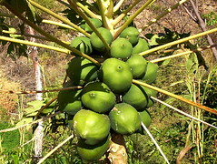 papaya, tree, fruit,
