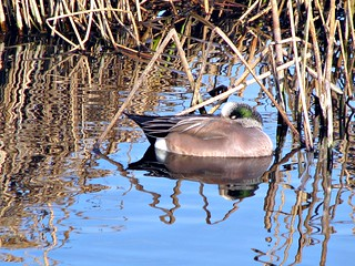 Snooze time for an American Wigeon