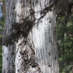 chickadee and big tree