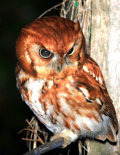 canon explore owl screechowl megascopsasio explore124 impressedbeauty vosplusbellesphotos easternscreechowlredmorph