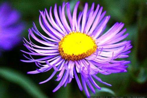 macro purple flower    MG 9781