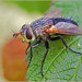 White Faced Fly 0459 by Okie Bill