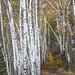 Birch Path by Ben DeFlorio