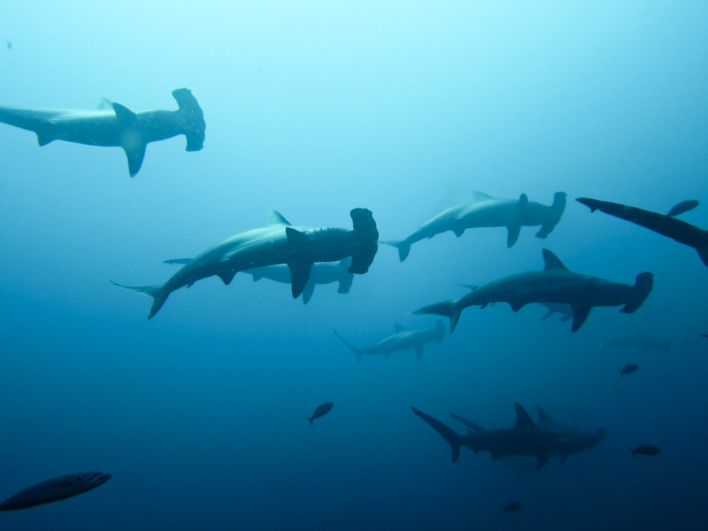 Cardumen de tiburones martillo