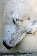 Polar Bear - 32