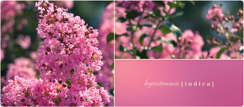 pink flowers trees plants cute green leaves sunshine canon design petals stem pretty graphic happiness northcarolina round stems blocks delicate 70200mm crapemyrtle lagerstroemiaindica isusm eos5dmarkii