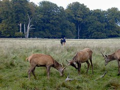 A Danish red deer stag.