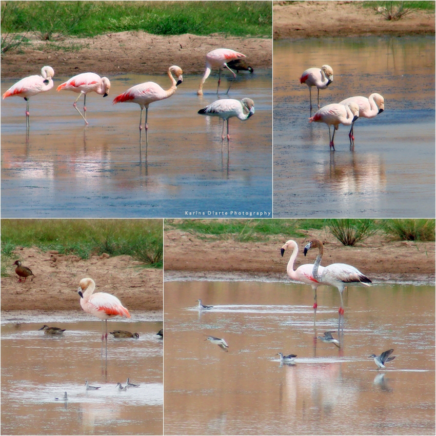 Flamenco / Chilean Flamingo