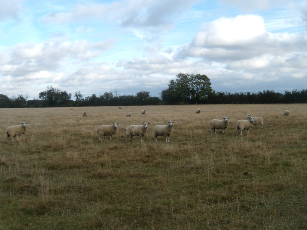 Sheep Sandling to Wye
