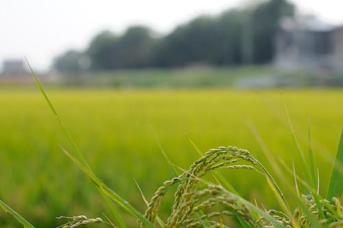 nikon rice ricefield 愛知 aichi d300 handa 稲 水田 半田 yakachi yakachigawa 矢勝川