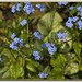 Siberian bugloss - Photo (c) Manuel Martín Vicente, some rights reserved (CC BY-NC-ND)