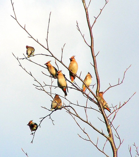 Winter Waxwing Flock