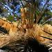 Arecaceae,Cycadaceae,Zamiaceae,Xanthorrhoeaceae - Australian