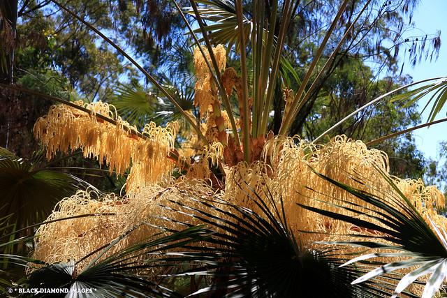 Livistona fulva - Blackdown Tableland Palm