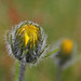Small photo of Alpine Hawkweed