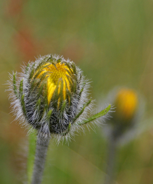 Header of Alpine Hawkweed