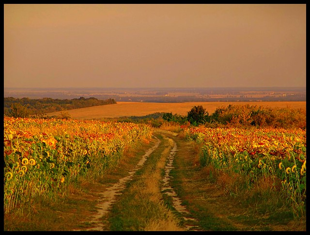 Bogacsi Sunflowers