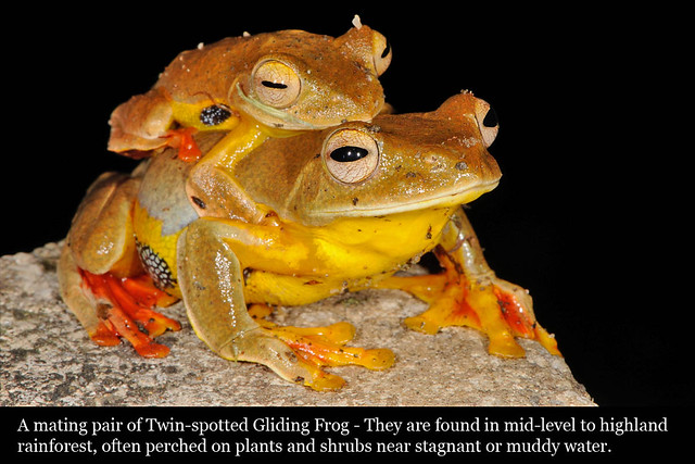 055_frogtwinspotted