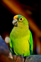 lovebird(0.0), macaw(0.0), lorikeet(0.0), animal(1.0), parrot(1.0), yellow(1.0), pet(1.0), green(1.0), fauna(1.0), parakeet(1.0), close-up(1.0), common pet parakeet(1.0), beak(1.0), bird(1.0),