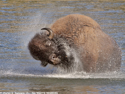 Buffalo Bull shaking off water IMG_1324