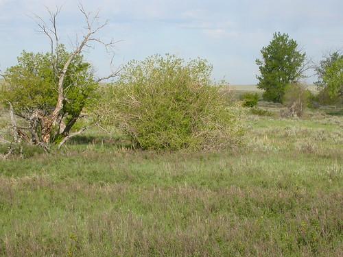 Salix eriocephala var. watsonii
