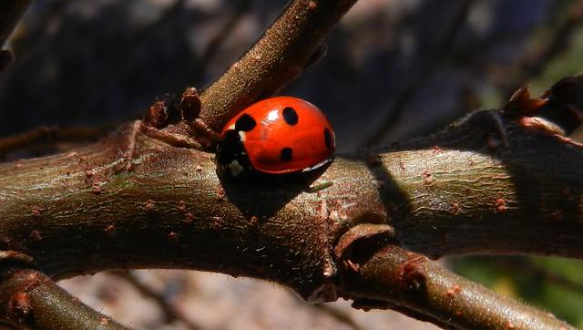 7 spot ladybird DSCN2444