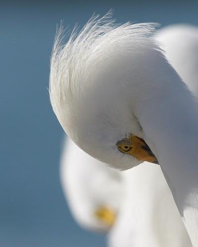 snowy egret ftdesoto avianexcellence copyrightsteveleachpleasecontactphotographeratfoulballverizonnetpriortousagedownloadorreprints allimagesarecopyrittendonotusewithoutpermissionsteveleach