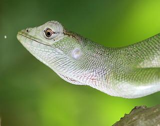 0672 Lizard