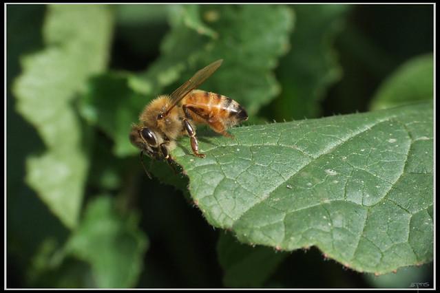 Apis mellifera - דבורת הדבש