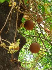 Gourds, La Ceiba Central Park