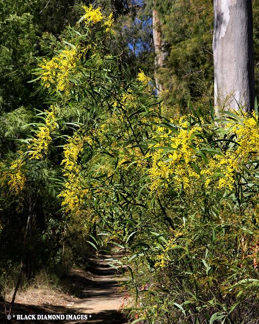 Acacia macradenia - Zig Zag Wattle, Blackdown Tableland Wattle (On Track to Horseshoe Lookout)