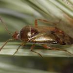 Alloeotomus gothicus