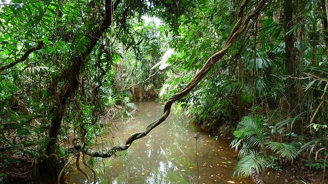 Selva tropical de Daintree, Trópicos Húmedos de Queensland, Australia