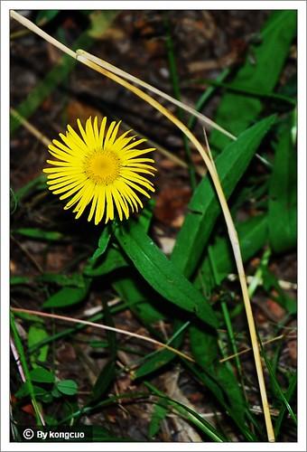 内蒙古植物照片-菊科旋覆花属柳叶旋覆花
