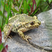 Common Midwife Toad - Photo (c) Loran, some rights reserved (CC BY)