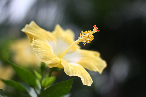 Hibiscus (Gumamela)