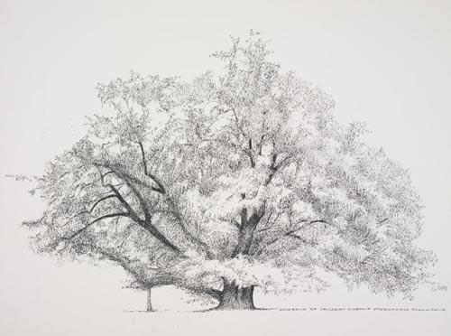 "Dick Rauh, Pterocarya fraxinifolia, 2005.  Pen and ink on D'Arches 300# hot press, 16"" × 20"".  © Copyright Brooklyn Botanic Garden"