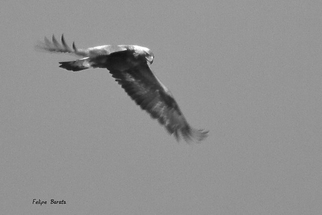 Águila Real, blanco y negro | Flickr - Photo Sharing!