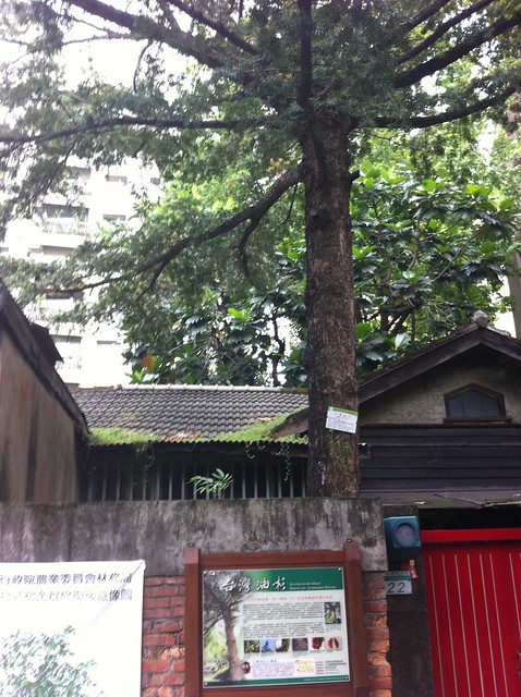超過80年歷史的台灣油杉,地址在台北市金山南路二段203巷22號