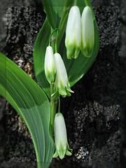 erythronium(0.0), arum(0.0), flower(1.0), galanthus nivalis(1.0), plant stem(1.0),