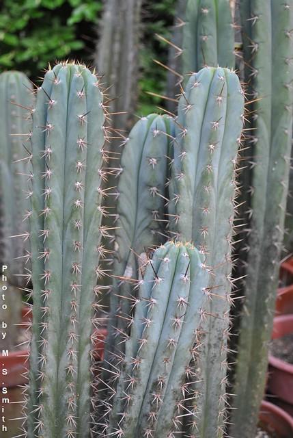 T pachanoi Mesa Garden