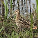 Wilson's Snipe (Gallinago delicata). March 8, 2014. Merced Natl. Wildlife Refuge, Merced Co., CA (1) by rjadams55