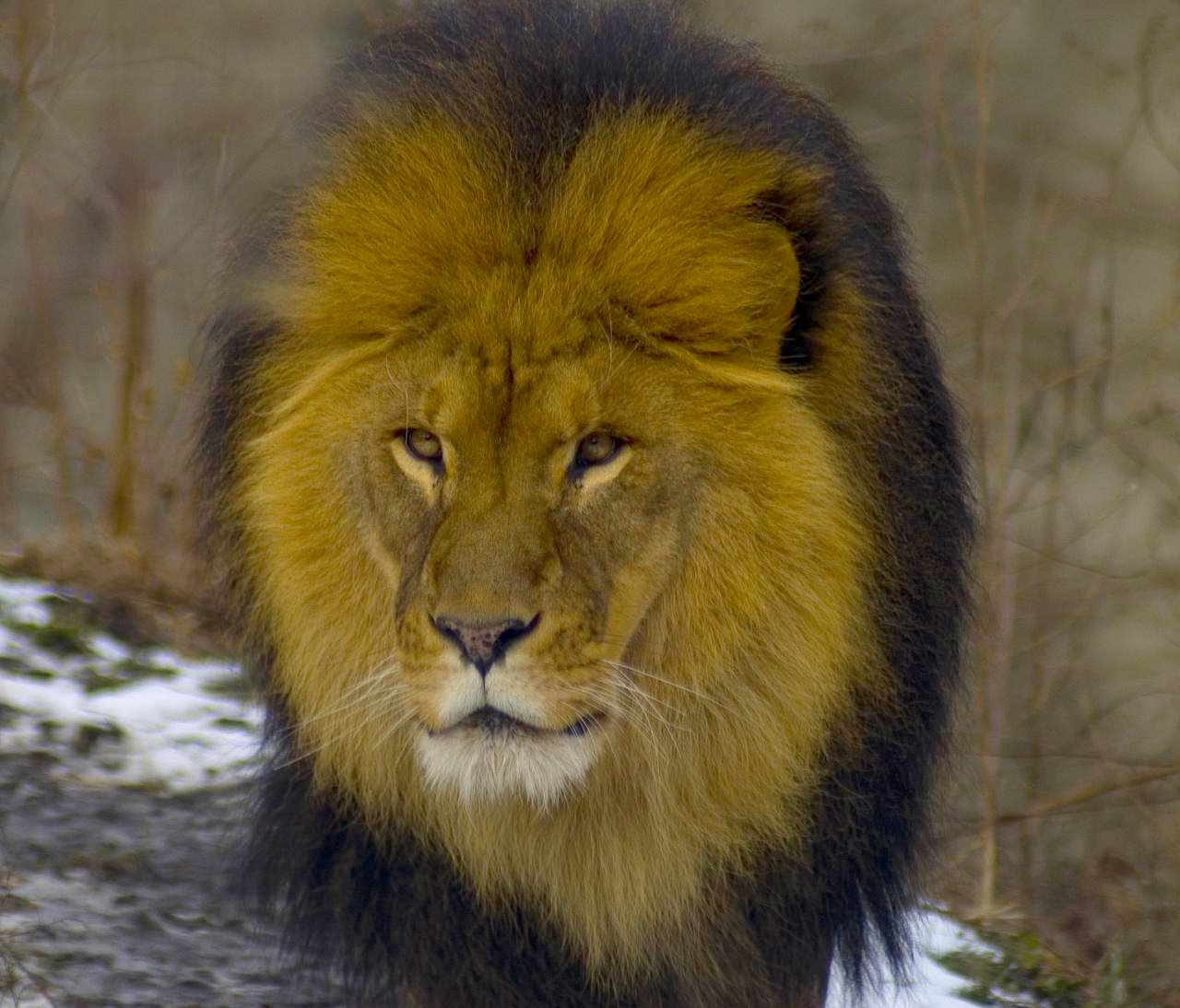 The Lion's Mane by BIG Slow
