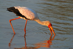 Yellow-billed Stork, South Luangwa National Park, Zambia