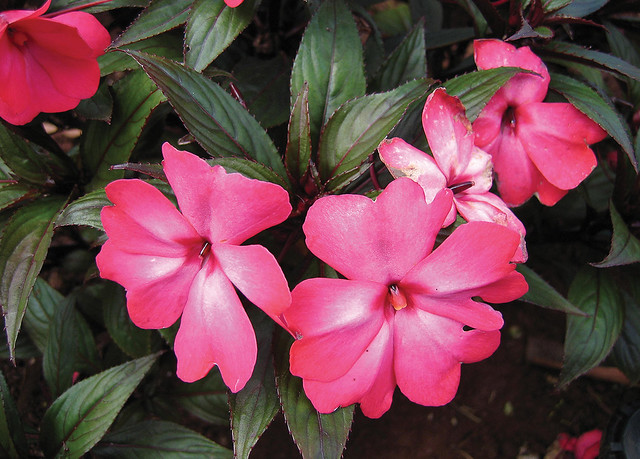 Pink new guinea impatiens flickr photo sharing for New guinea impatiens