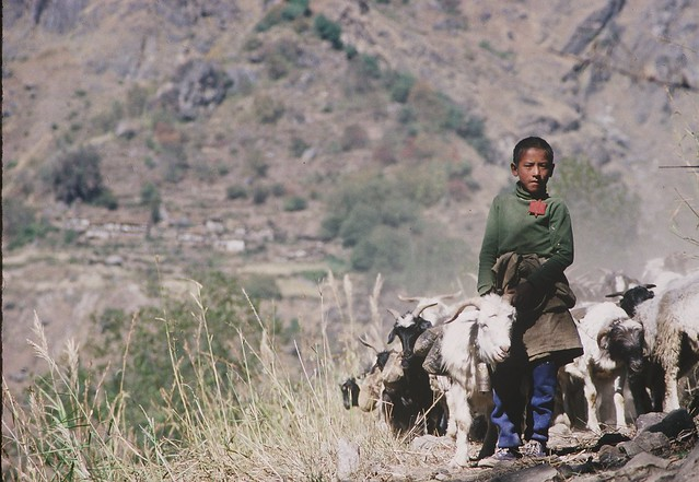 Shepherd boy w/load carrying sheep, Karnali Valley, Nepal