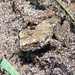 Small photo of Northern Cricket Frog,, Acris crepitans