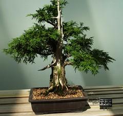 arecales(0.0), sageretia theezans(0.0), produce(0.0), tree(1.0), plant(1.0), houseplant(1.0), bonsai(1.0),