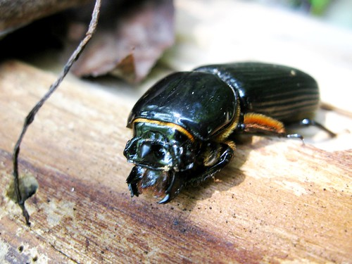 Patent Leather Beetle 3